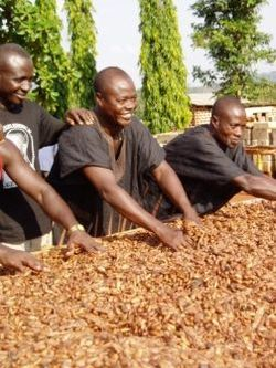 3 men in ghana sorting cocoa beans